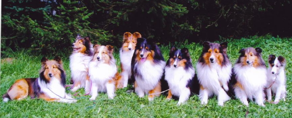 Shelties_in_a_row.jpg